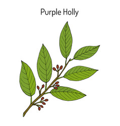 Purple holly ilex purpurea medicinal plant vector