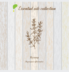 hyssop essential oil label aromatic plant vector image