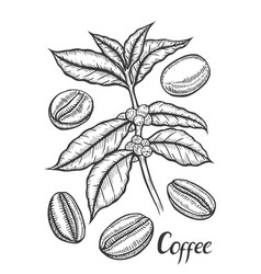 sketch of coffee branch vector image