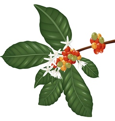 Coffe species branch with coffee berries and bloss vector