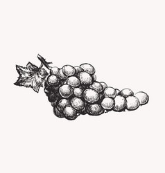 grapes ink line draw vector image vector image