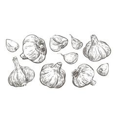 Garlic sketch food vintage vector