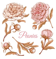 Peonies vector
