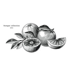 oranges collection hand draw vintage clip art vector image