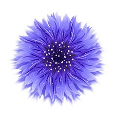 blue cornflower on white background vector image vector image