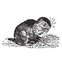 ground squirrel vintage vector image