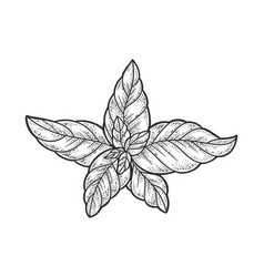 Basil leaves plant sketch vector