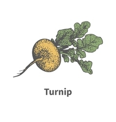 hand-drawn ripe yellow turnip with tops vector image