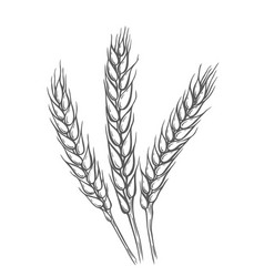 wheat bread ears cereal vector image