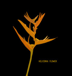 Heliconia flowers wild plantain lobster claw vector