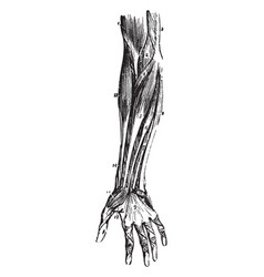 Front forearm muscles vintage vector