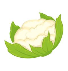Whole fresh cauliflower vector