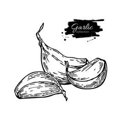 Garlic clove hand drawn vector