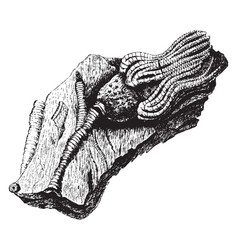Fossil crinoid vintage vector