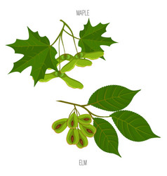Maple and elm leaves seeds green acer leaf vector