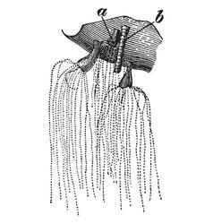 Lion mane jellyfish vintage vector