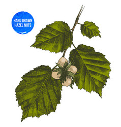 Hand drawn hazelnut on branch vector