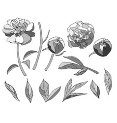 neutral grey color peony elements set vector image