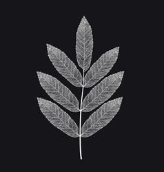 skeletonized rowan leaf on a black vector image