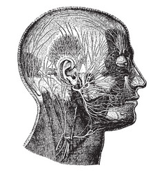 Nerves of the face vintage vector
