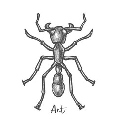 sketch ant or hand drawn insect bug closeup vector image