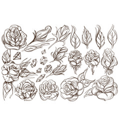 Botanical graphics roses a set of with buds vector