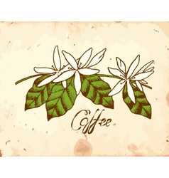 Coffee Flowers vector