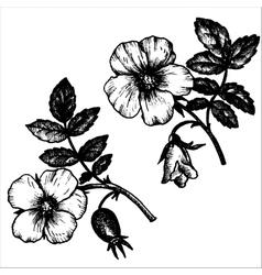 dog rose flowers vector image