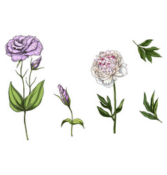 Set with peony and eustoma flowers leaves a vector