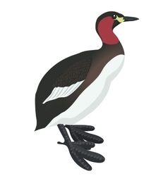 little grebe bird detalised on white background vector image