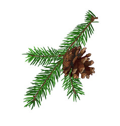 Fir tree branch with cone isolated on white vector