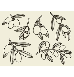 Olive tree branches vector