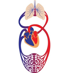 blood circulation system of human vector image