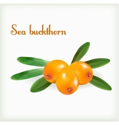 Sea buckthorn with green leaves vector image