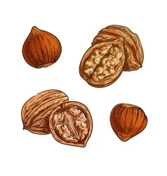Hazelnut and walnut sketch for healthy food design vector
