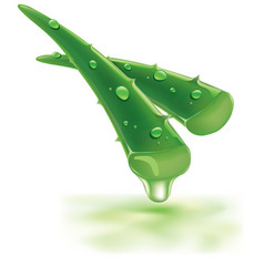Fresh aloe vera with drops health juice vector