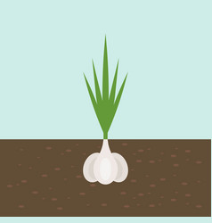 garlic vegetable with root in soil texture flat vector image
