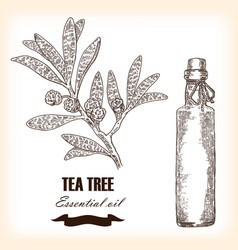 Melaleuca hand drawn teatree essential oil vector
