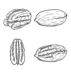 sketch set pecan nuts vector image