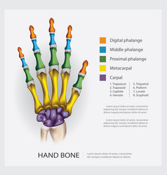 Human anatomy hand bone vector