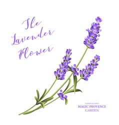 bunch of lavender vector image
