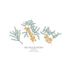 hand drawn sea buckthorn branches vector image