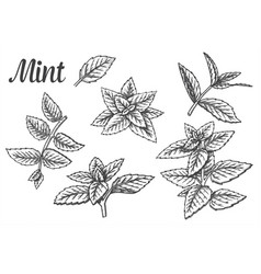 sketches peppermint leaves or mint leaf vector image