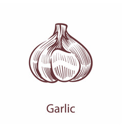 garlic hand drawn icon vegetable in old vector image