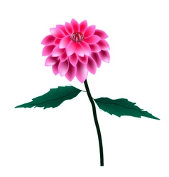 Pink Dahlia Flower on A White Background vector image