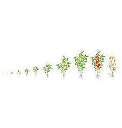 Growth stages of tomato plant vector