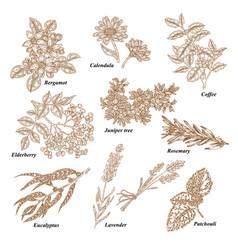 Medical and cosmetics plants hand drawn bergamot vector