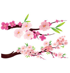 cherry blossom flowers on branches vector image vector image