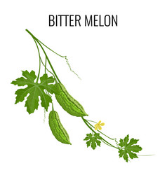 bitter melon on white background isolated vector image