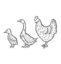 hen bird vector image vector image